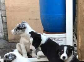 Stunning ISDS border collies puppies