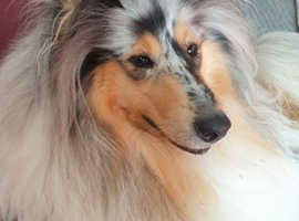 Blue merle rough collie bitch for sale