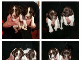 Liver and white puppies