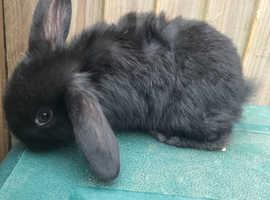 7 week old black lop eared rabbit