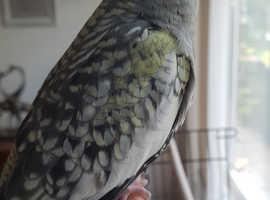 Baby male cockatiel DNA sexed