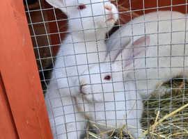 Baby Male Rabbits