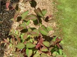Astilibre shrub