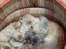 Beautiful litter of KC Weimaraner pups