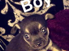 Stunning Chihuahua pups for sale