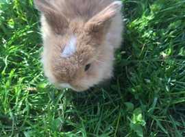 2 minilop bunnies 4 weeks old £90 each