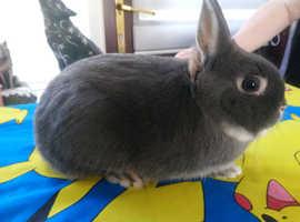 Male netherland dwarf rabbit 6mth