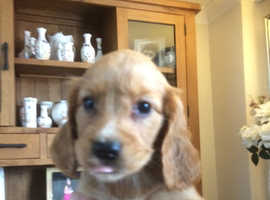 Cocker spaniel puppies ready now kc registered