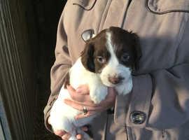 Gorgeous Springer Spaniel Pups