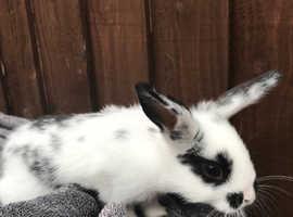 Cutest baby bunnies - cross lion heads