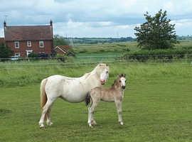 Buckskin Coed Coch Welsh Mountain Pony Colt Foal