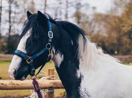 Welsh cob project