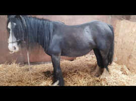 4yo black cob mare