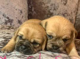 Beautiful Pug x puppies