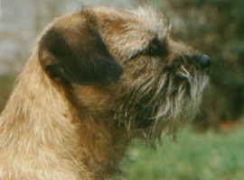 Border Terrier at stud. KC reg.