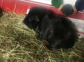 Guniea pig boar
