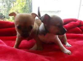 chihauhau cross jack russell mini pups