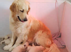 Golden Retriever Dogs & Puppies For Sale & Rehome in