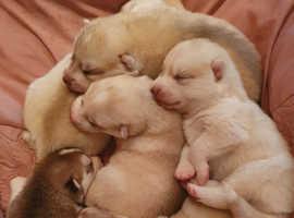 Beautiful Husky puppies available.