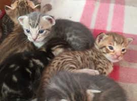 Adorable Pedigree Ocicat Kittens