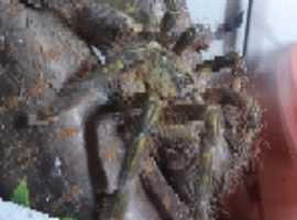 Poeciliotheria rufilata female. Adult