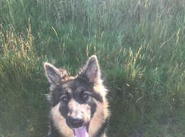 German shepherd x Alaskan malamute