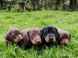 Beautiful miniature dachshund puppies