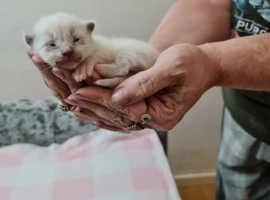 4 Stunning Ragdoll kittens