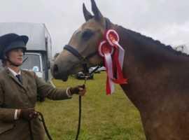 15hh Dun Quantock pony