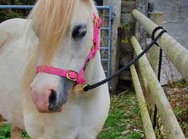 Companion or lead rein pony.
