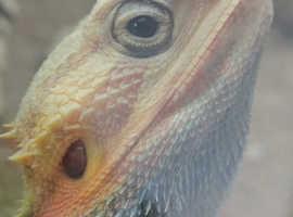 Beautiful coloured bearded dragon