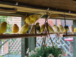 Mixed Canaries for sale