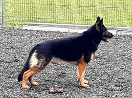 German shepherd wanted