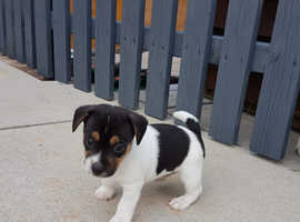 Jack Russell tri colour puppies
