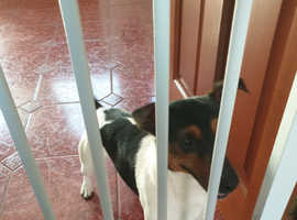 Wonderful Jack Russell- Male-aged 18 months