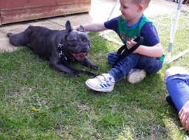Kc reg male french bulldog . Back for sale due to time wasters.