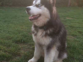 Blue Eyed Fluffy Husky available for Stud.