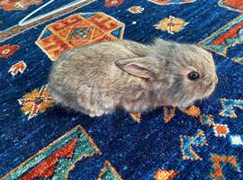 Adorable lionhead x bunny
