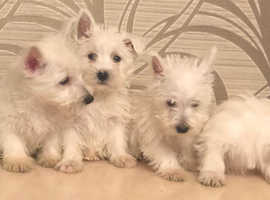 Westie pups ready now