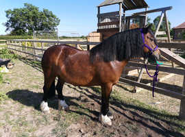 Project mare 14.2hh dales x cob 11 years old