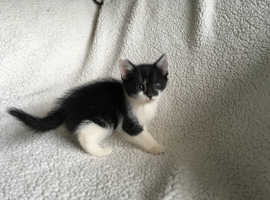 CUTE MALE KITTEN VET CHECKED CAN DELIVER