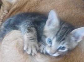 Lovely bengal cross kitten