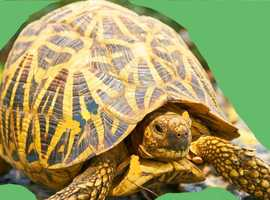 Tortoise wanted.stars red foots.leopards