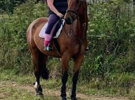 Gorgeous 16.3 gelding for part share