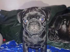 4 kc pugs for sale