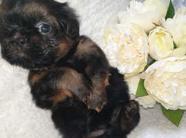 Kc registered shih tzu pups