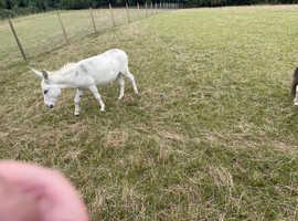 Minature jack donkey stud only