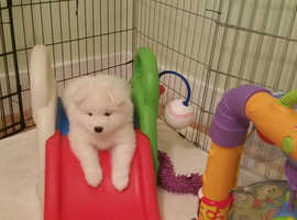 Beautiful Samoyed Puppies ONLY 4 pups remaining