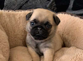 Outstanding pug puppies for sale