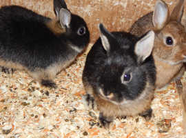 Netherland dwarf does black otter available